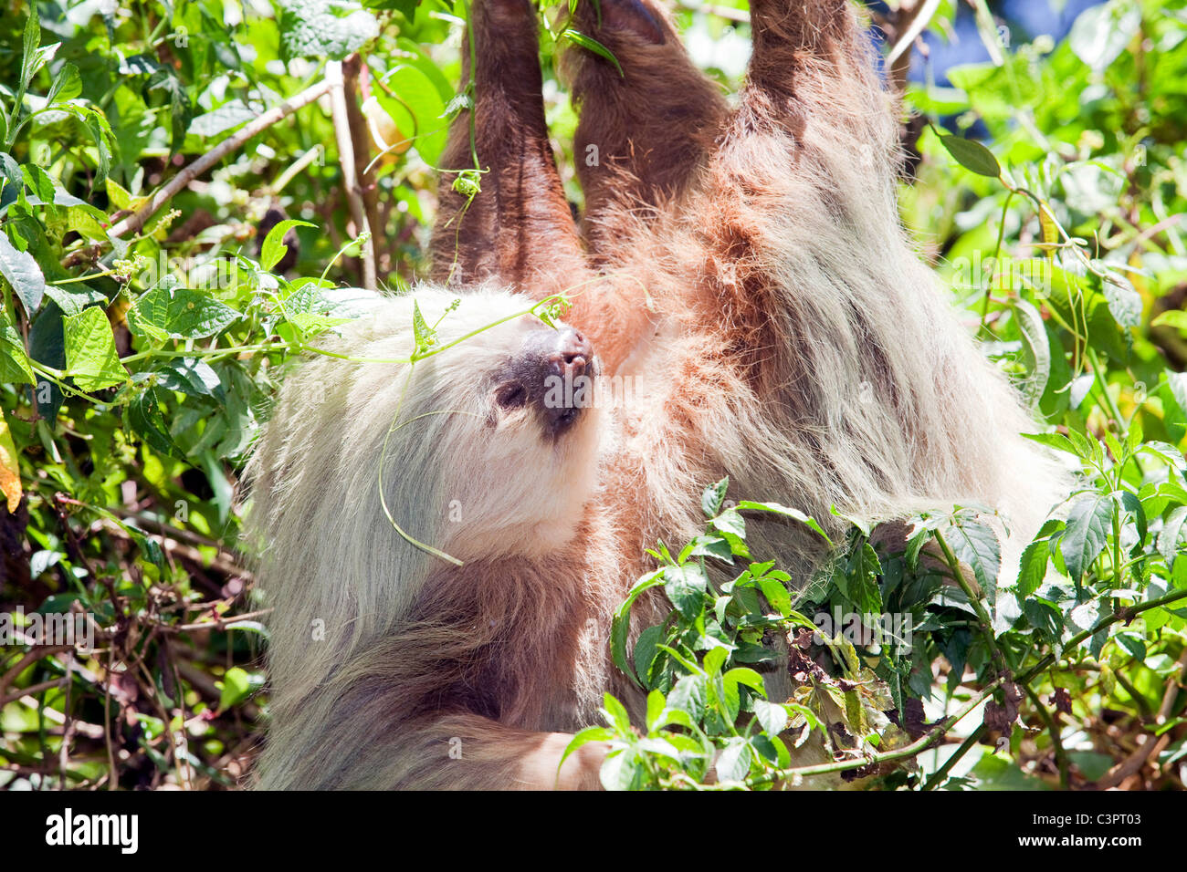 A two-toed sloth hangs from a branch in Costa Rica. Stock Photo