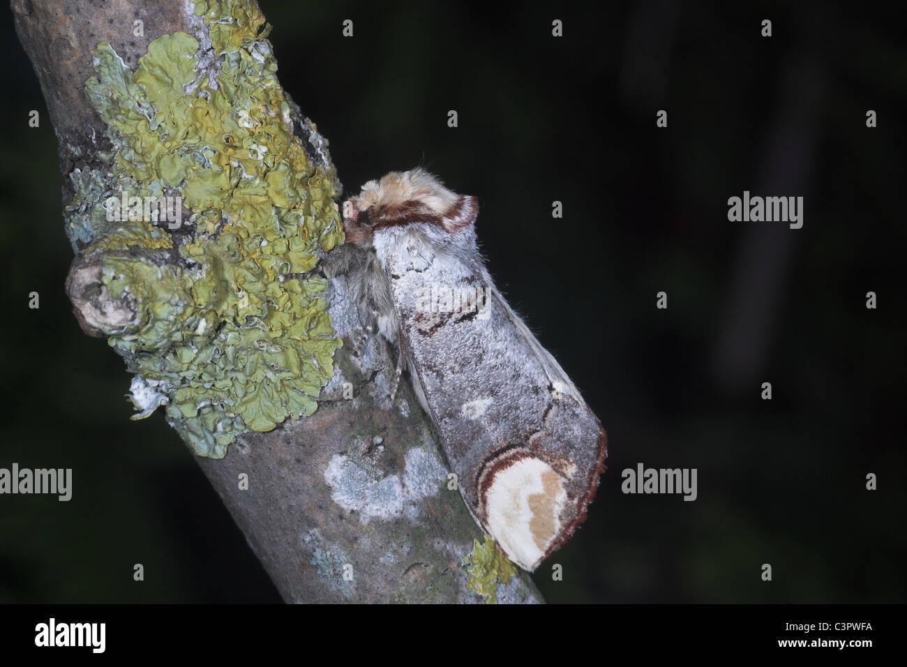 Buff-Tip Moth Phalera bucephala resting on twig. Somerset. UK - Stock Image