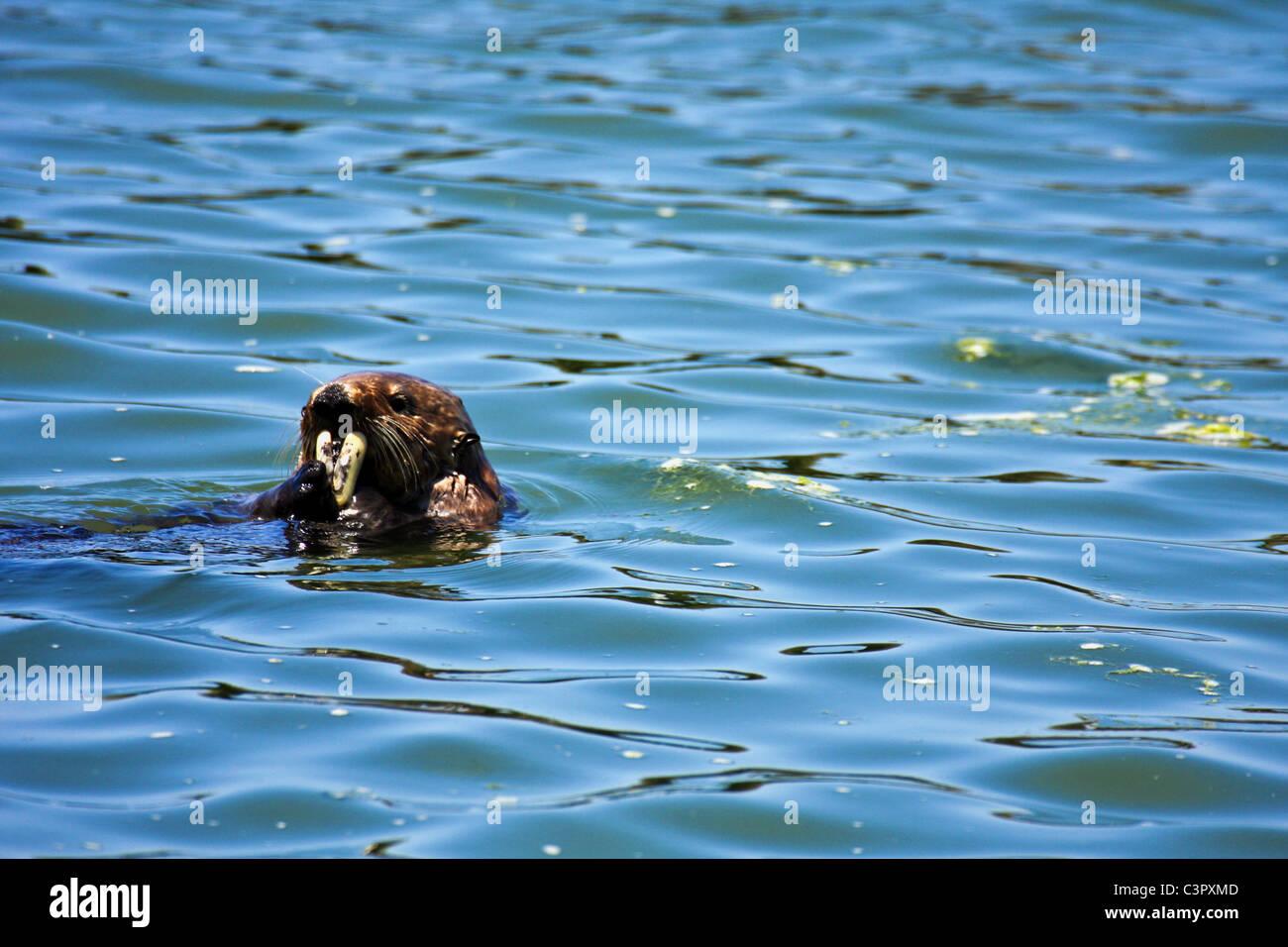 California sea otter, Enhydra lutris, Pacific Coast, Elkhorn Slough National Estuarine Research Reserve - Stock Image