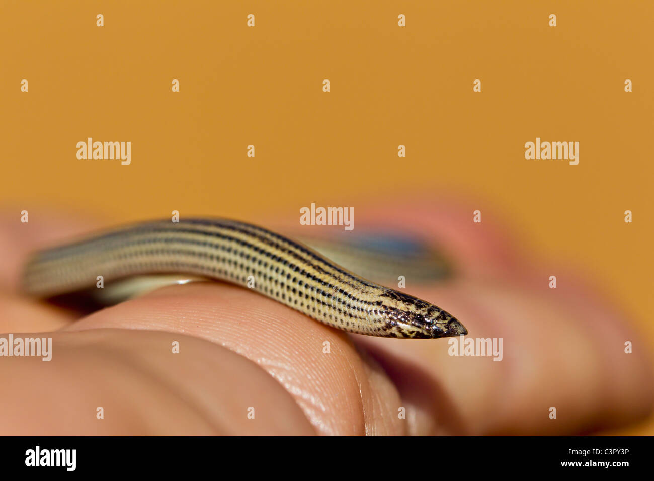 Africa, Namibia, Legless lizard in human hand - Stock Image