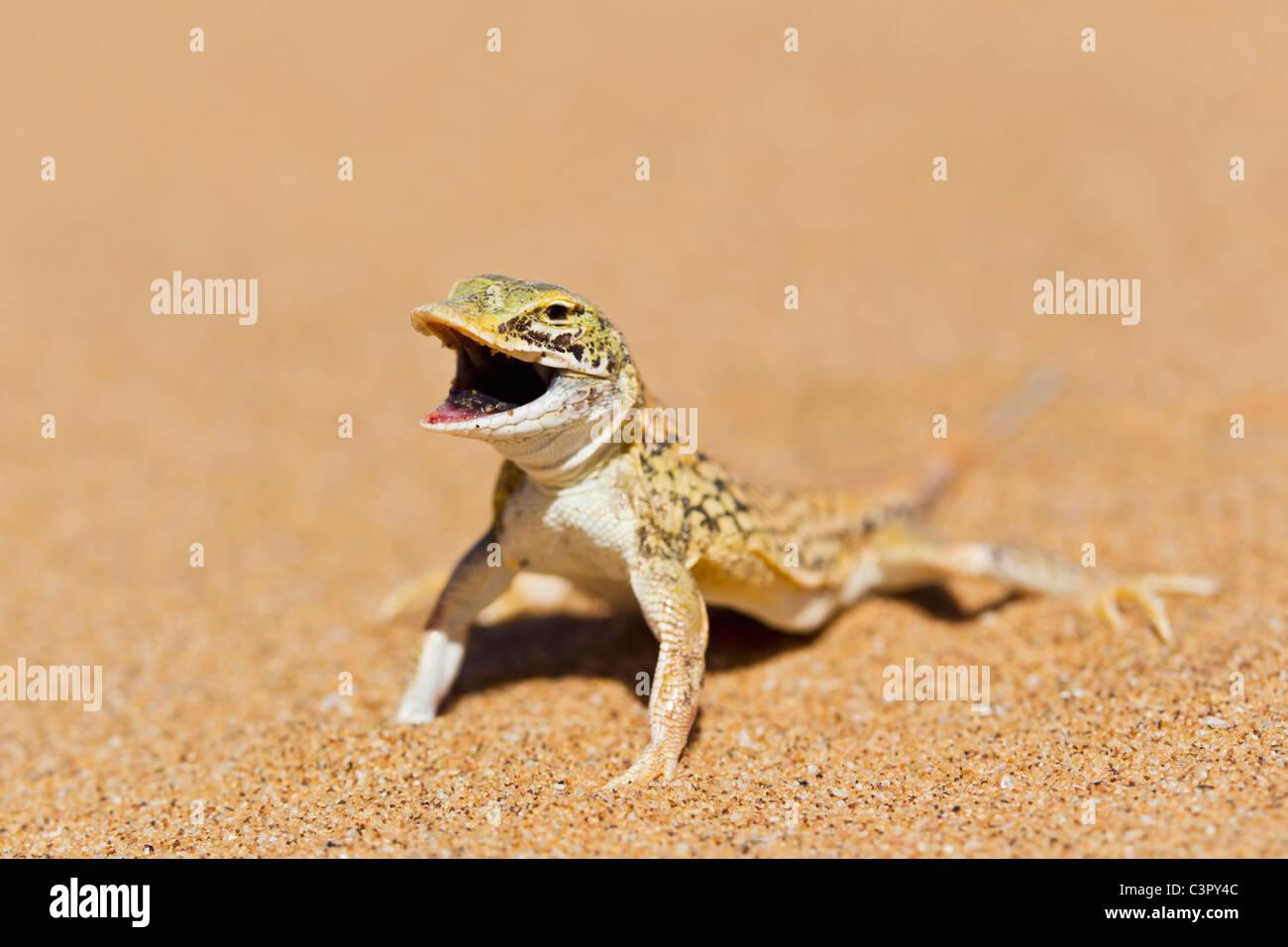 Africa, Namibia, Shovel-snouted lizard in namib desert Stock Photo