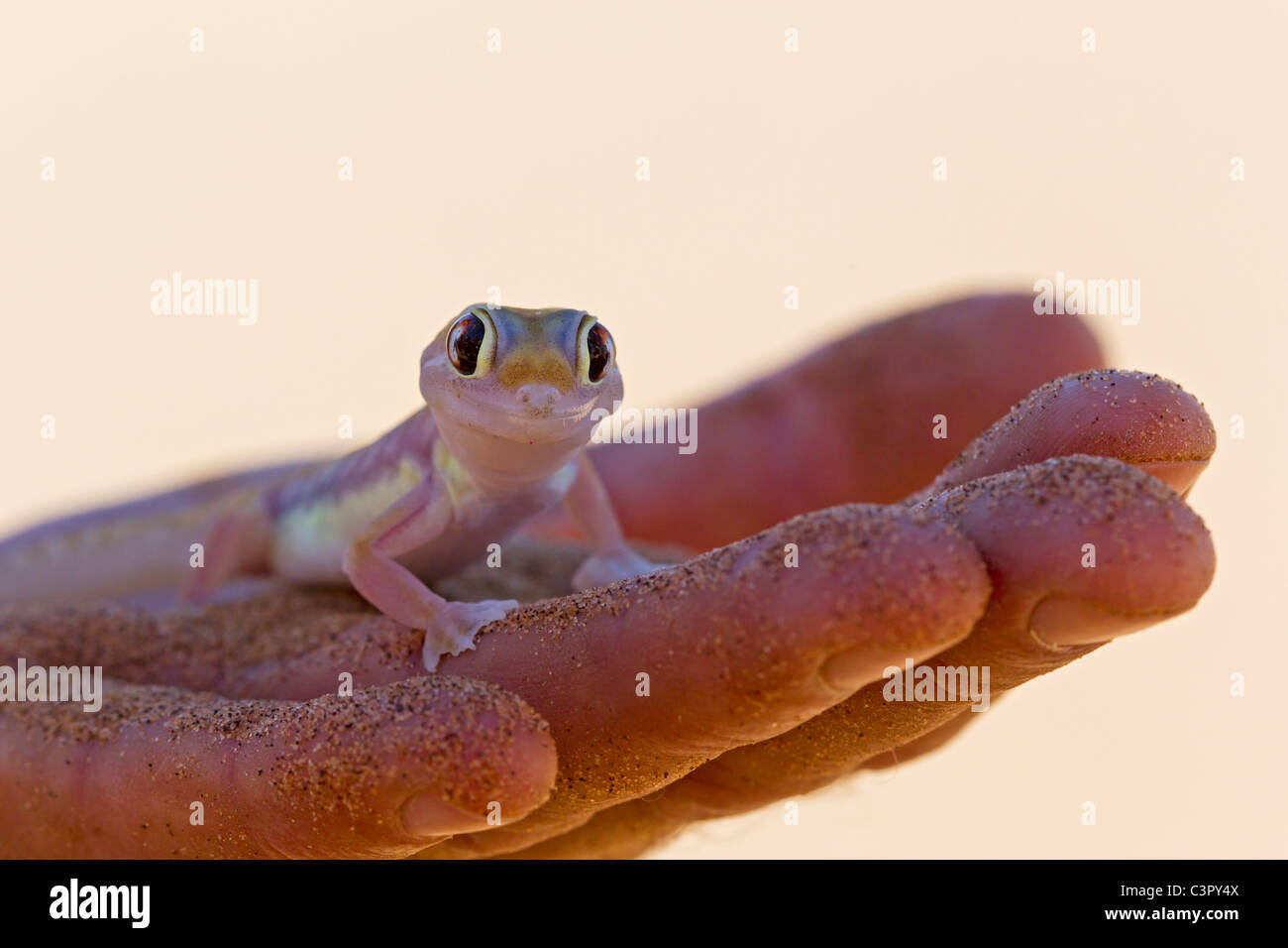 Africa, Namibia, Palmato gecko in human hand, close up Stock Photo
