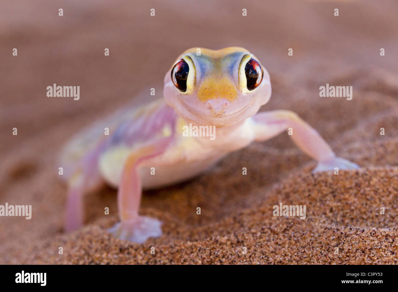 Africa, Namibia, Palmato gecko in namib desert Stock Photo