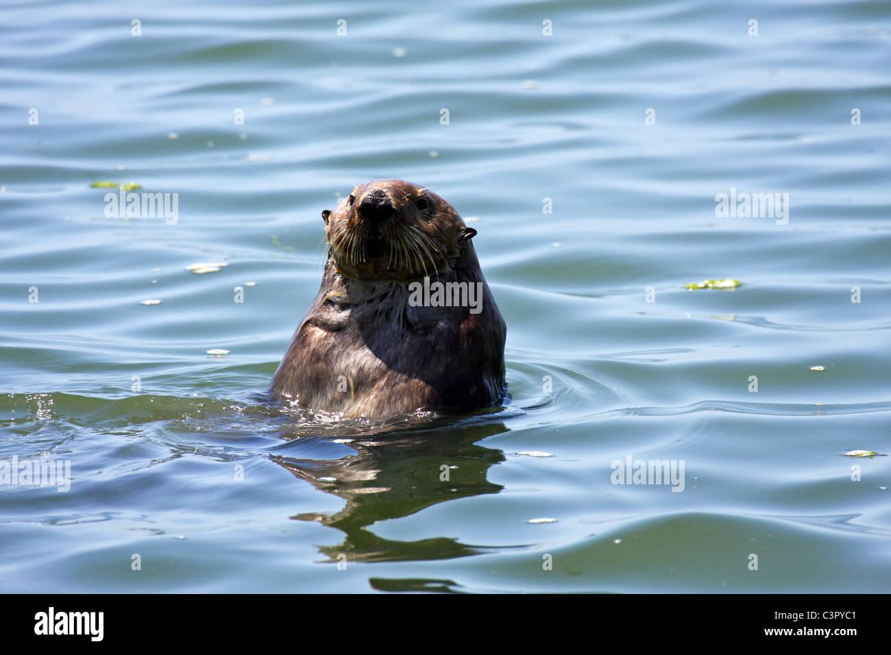 Sea Otter (Enhydra lutris) - Moss Landing, California, , Elkhorn Slough National Estuarine Research Reserve - Stock Image