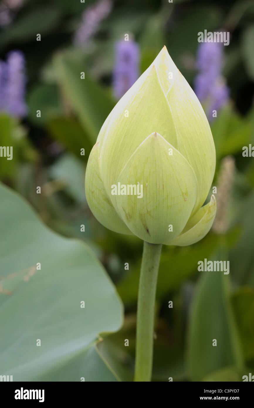 Lotus flower bloom ready to open up stock photo 36769187 alamy lotus flower bloom ready to open up izmirmasajfo