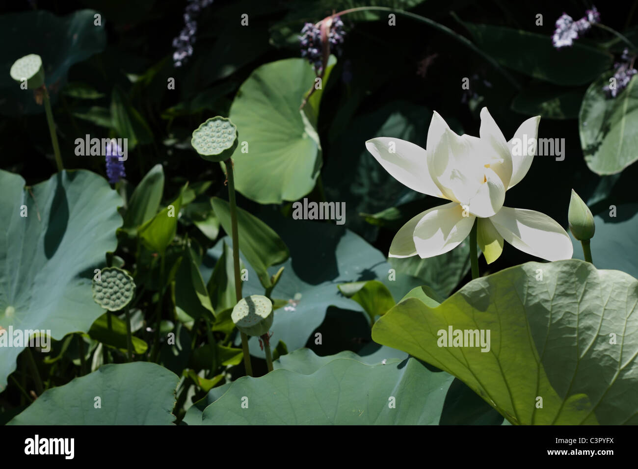 Indian lotus flower leaves stock photos indian lotus flower leaves lotus flower with green seeds and leaves stock image mightylinksfo