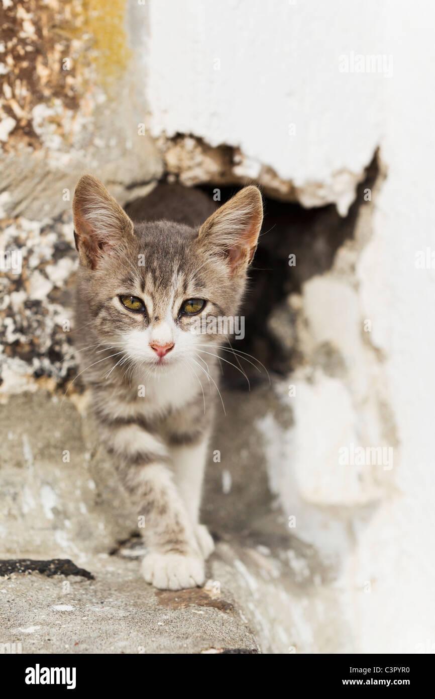 Europe, Greece, Cyclades, Santorini, Cat in hole - Stock Image