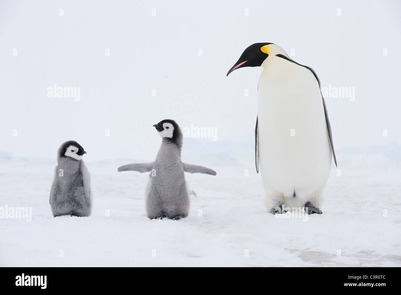 Antarctica, View of Emperor penguin with chicks - Stock Image
