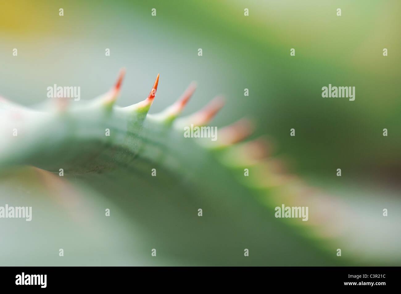 Aloe glauca 'blue aloe' plant abstract - Stock Image