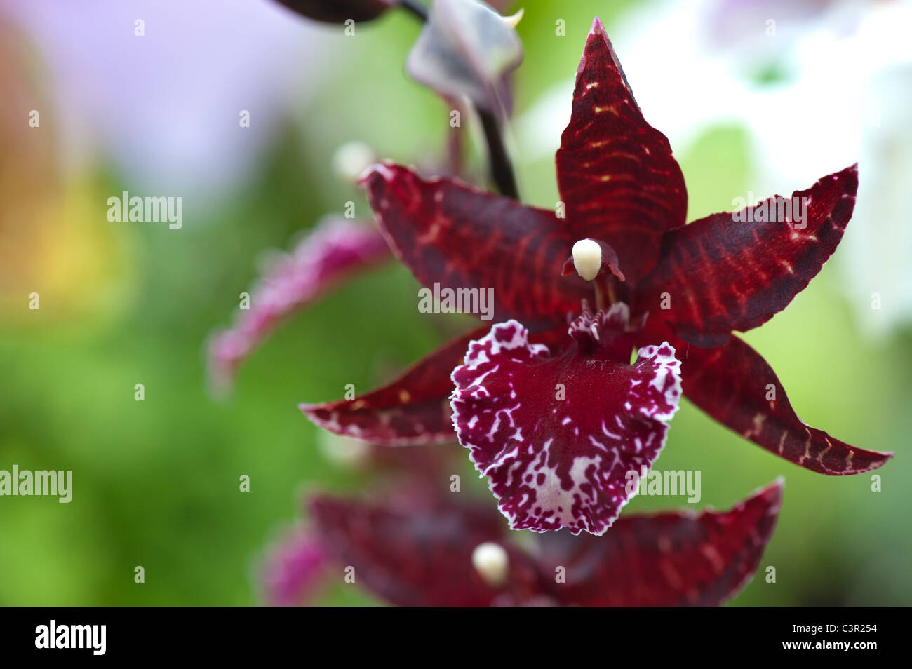Colmanara Masai red orchid flower - Stock Image