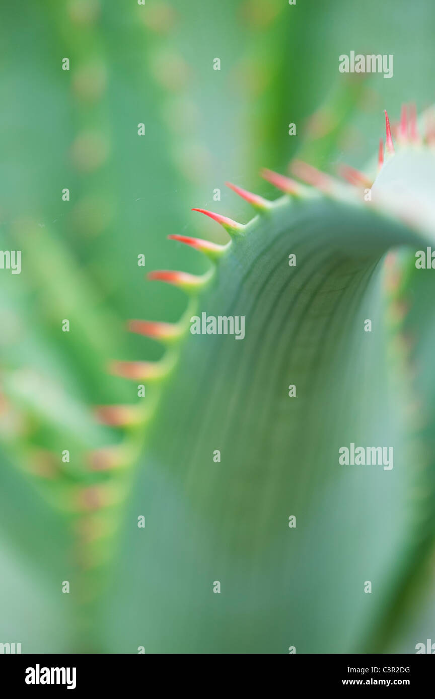 Aloe glauca 'blue aloe' plant abstract - Stock Image