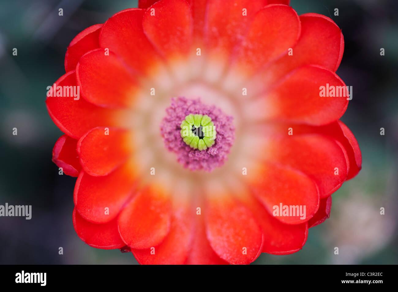 Echinocereus Triglochidiatus 'Otacanthus'. Hedgehog cactus flower - Stock Image