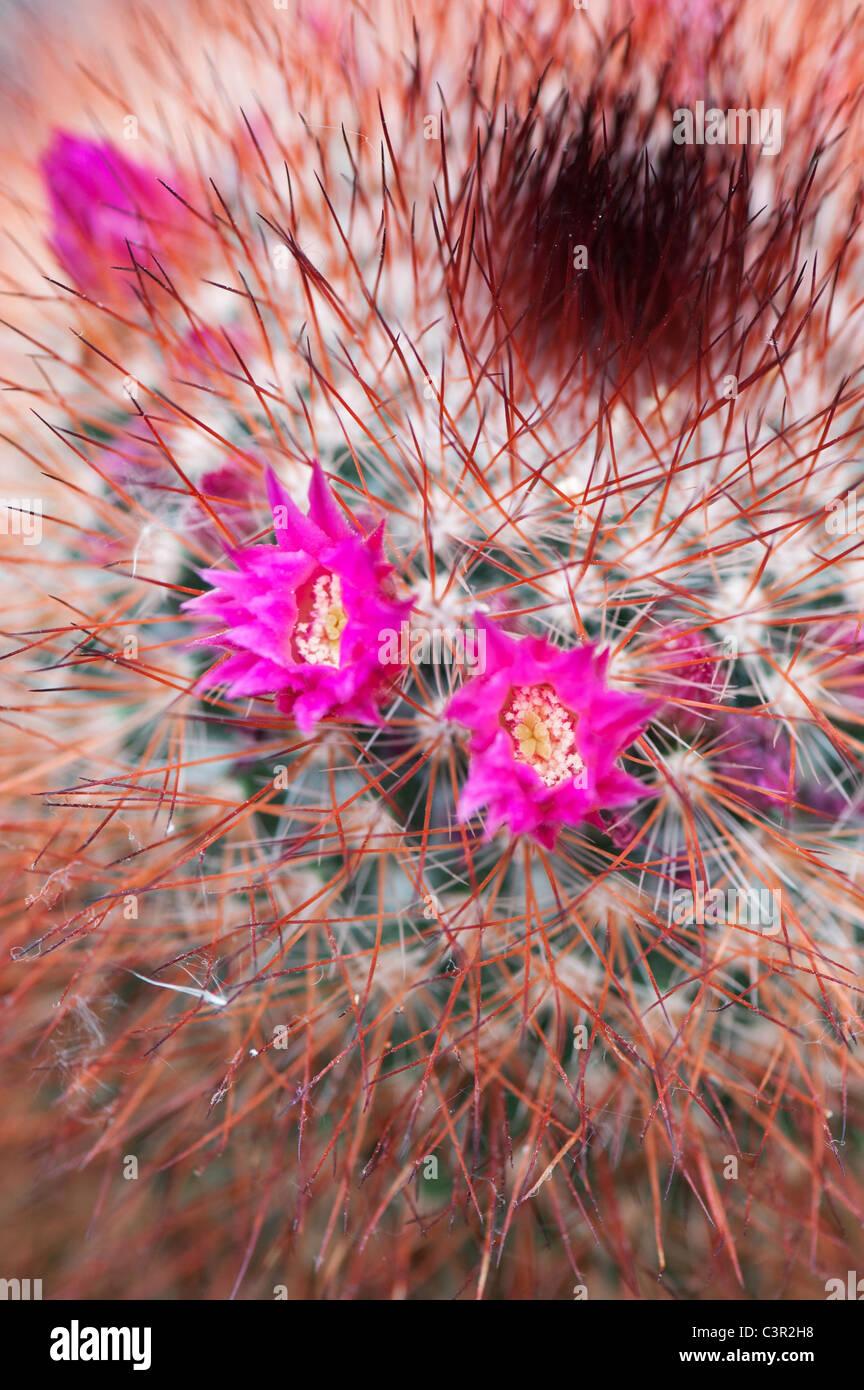 Mammillaria spinosissima. Red headed Irishman cactus flowering - Stock Image