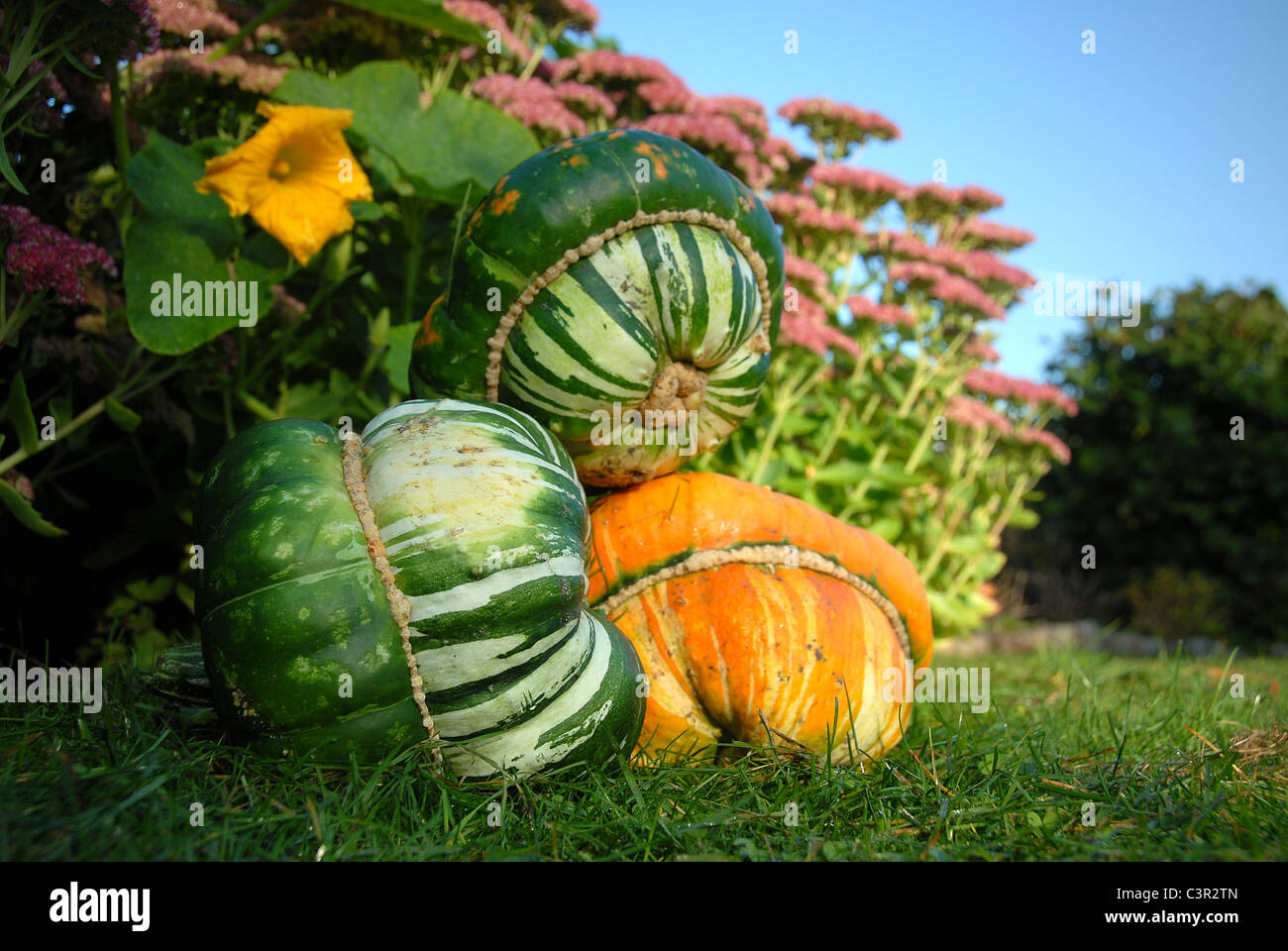 Ripe bishop's hat pumpkins in autumn seen in an allotment garden in Hamburg, Germany Stock Photo