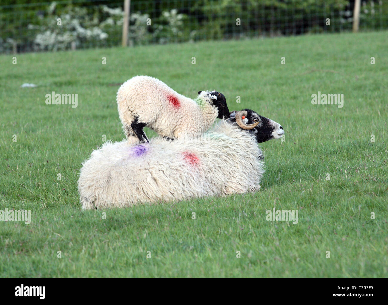 A lamb stands on the back of its mother at Castlerigg Stone Circle in the English Lake District. - Stock Image