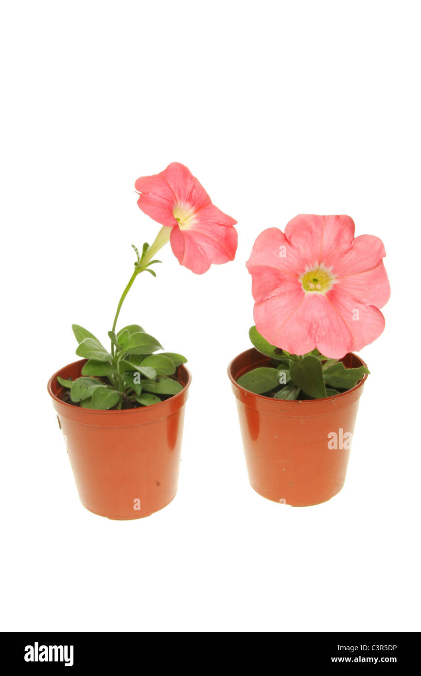 Two small petunia plants with pink flowers in pots isolated against white - Stock Image