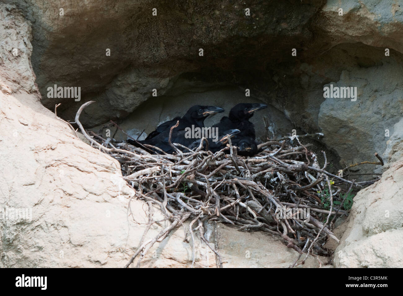 Common Raven's (Corvus corax) nest with four nestlings - Stock Image