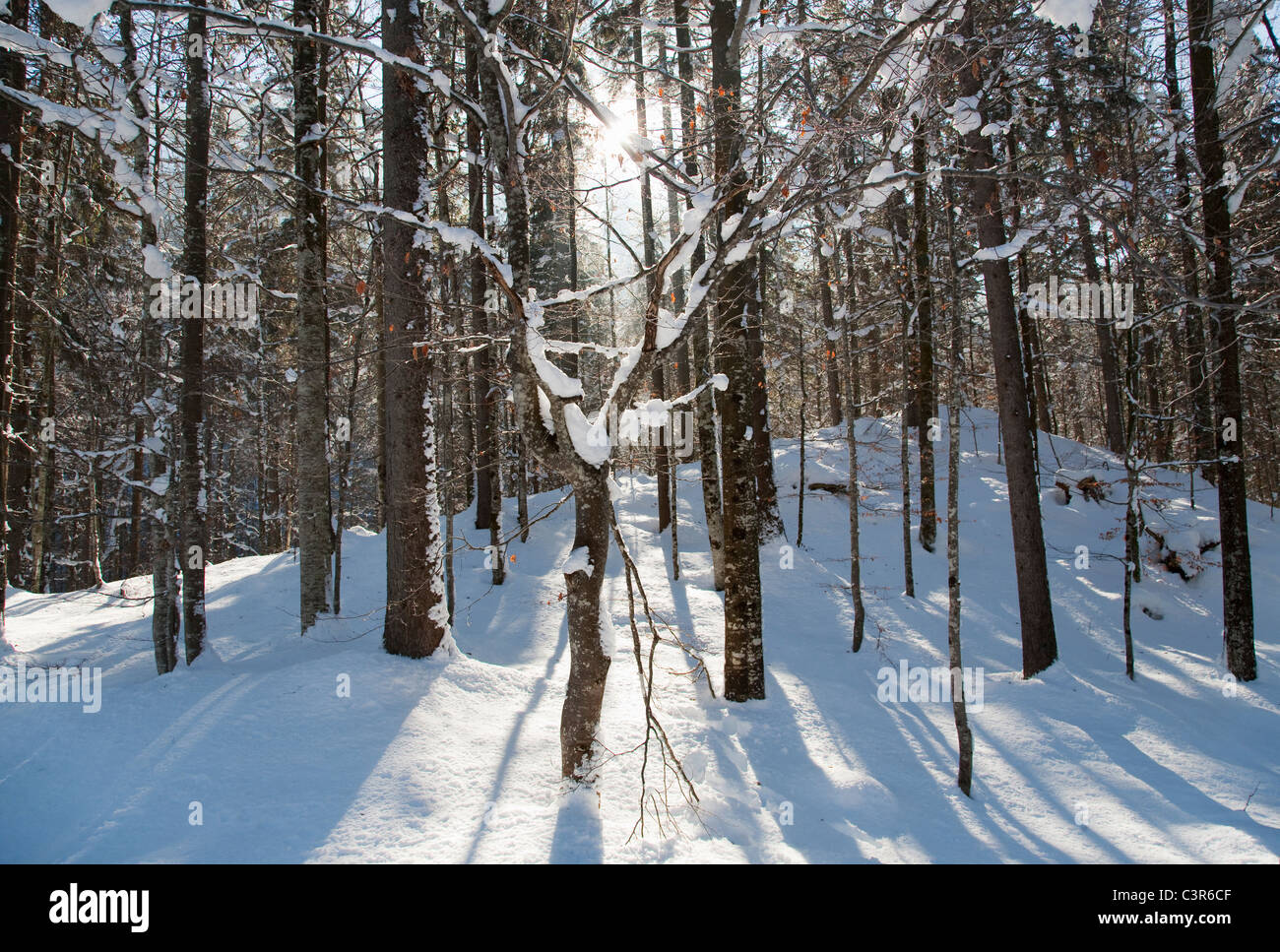 Sunlight streaming through winter forest Stock Photo