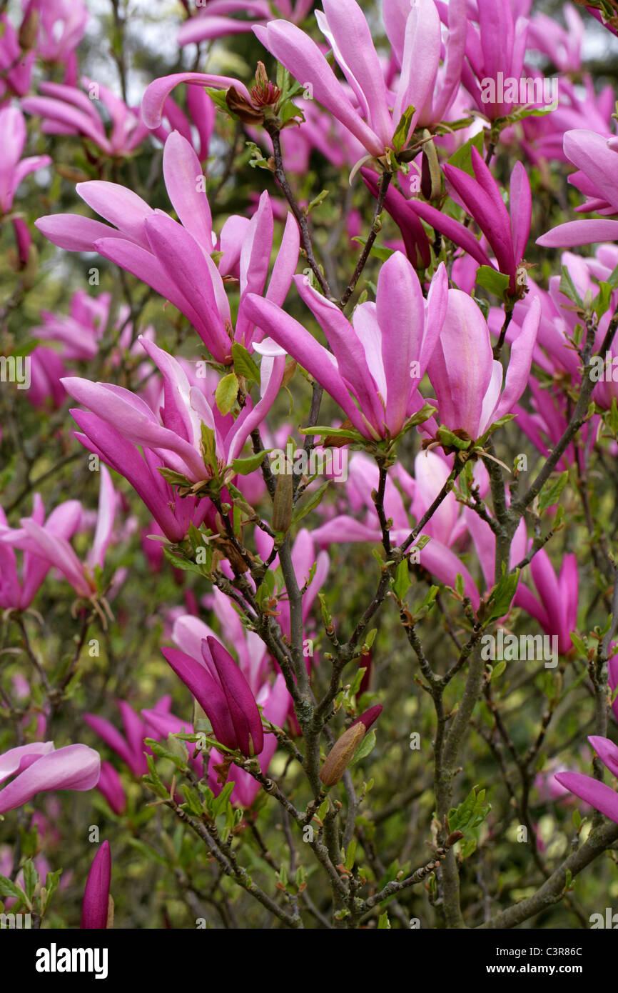 Magnolia Stellata Susan Magnoliaceae Stock Photo 36776052 Alamy
