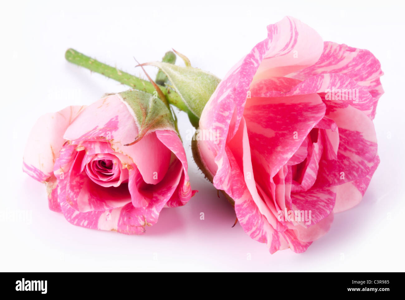 Two perfect roses on a white background. - Stock Image