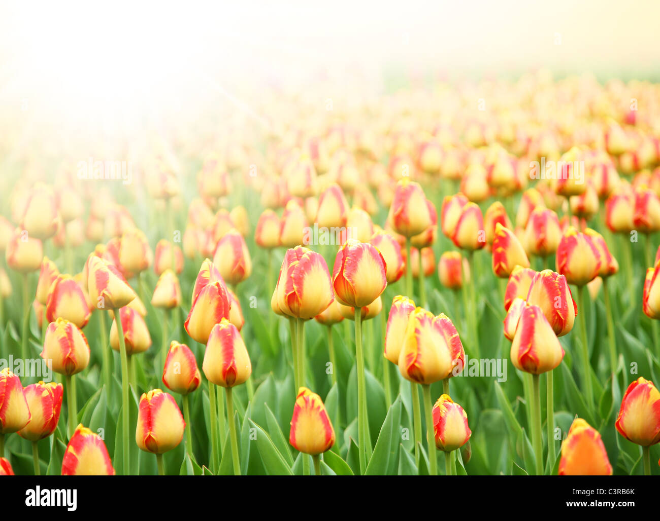 Field with colorful tulips - Stock Image
