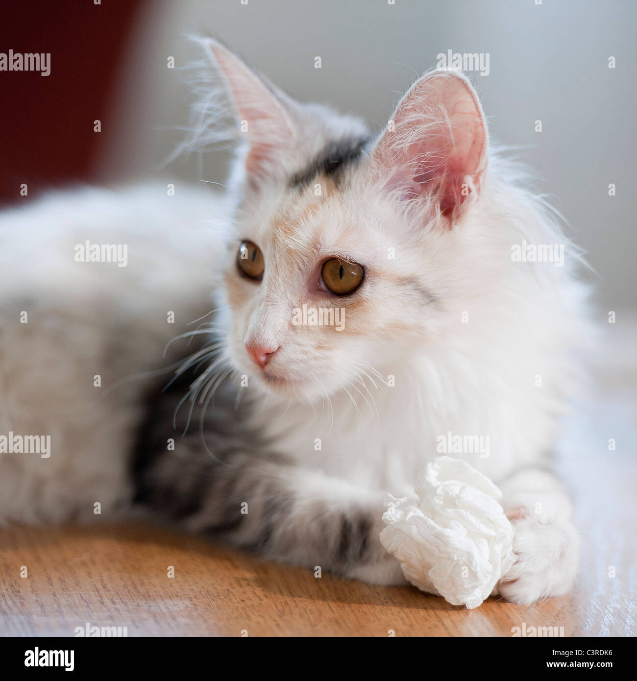 White cat laying on a table with a paper wad in her paws and looking left - Stock Image