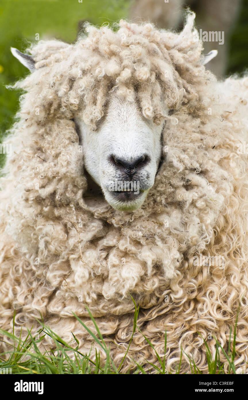 Sheeps Eyes Stock S Sheeps Eyes Stock Alamy