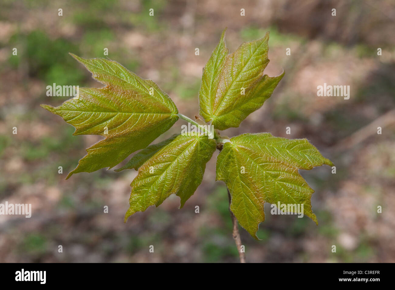 Developing Sugar Maple leaves (Acer saccharum)  Spring Eastern USA - Stock Image