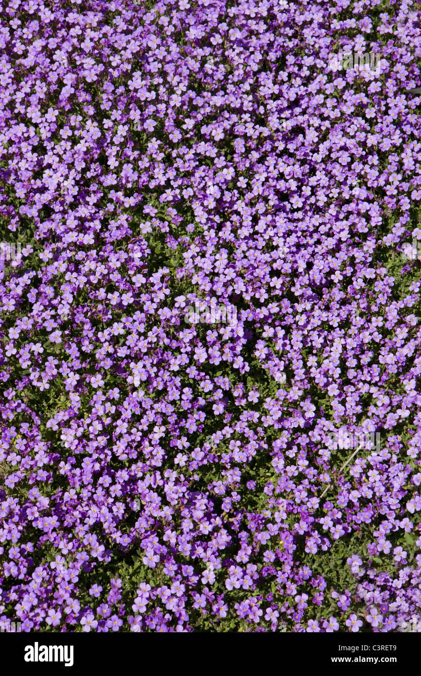 Germany Bavaria Small Purple Flowers Stock Photos Germany Bavaria