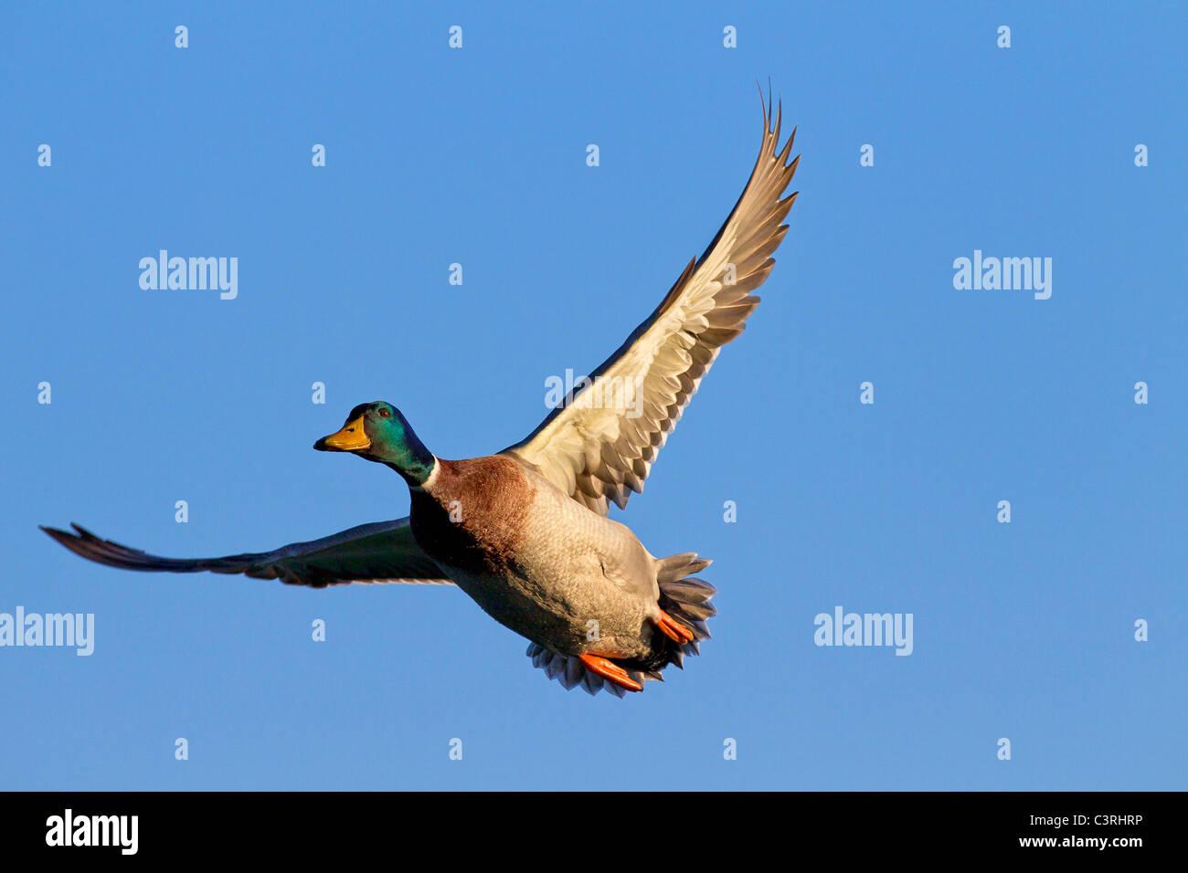 Mallard / Wild duck (Anas platyrhynchos) male in flight - Stock Image