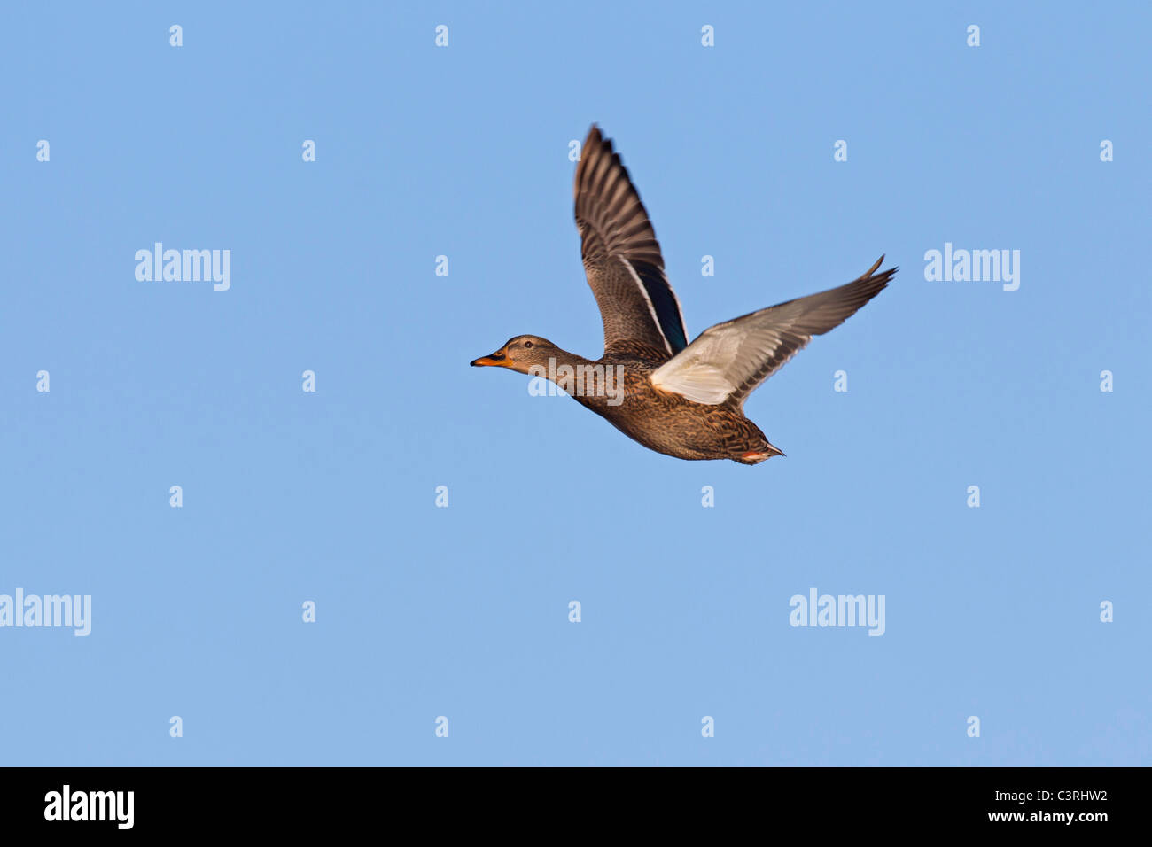 Mallard / Wild duck (Anas platyrhynchos) female in flight - Stock Image