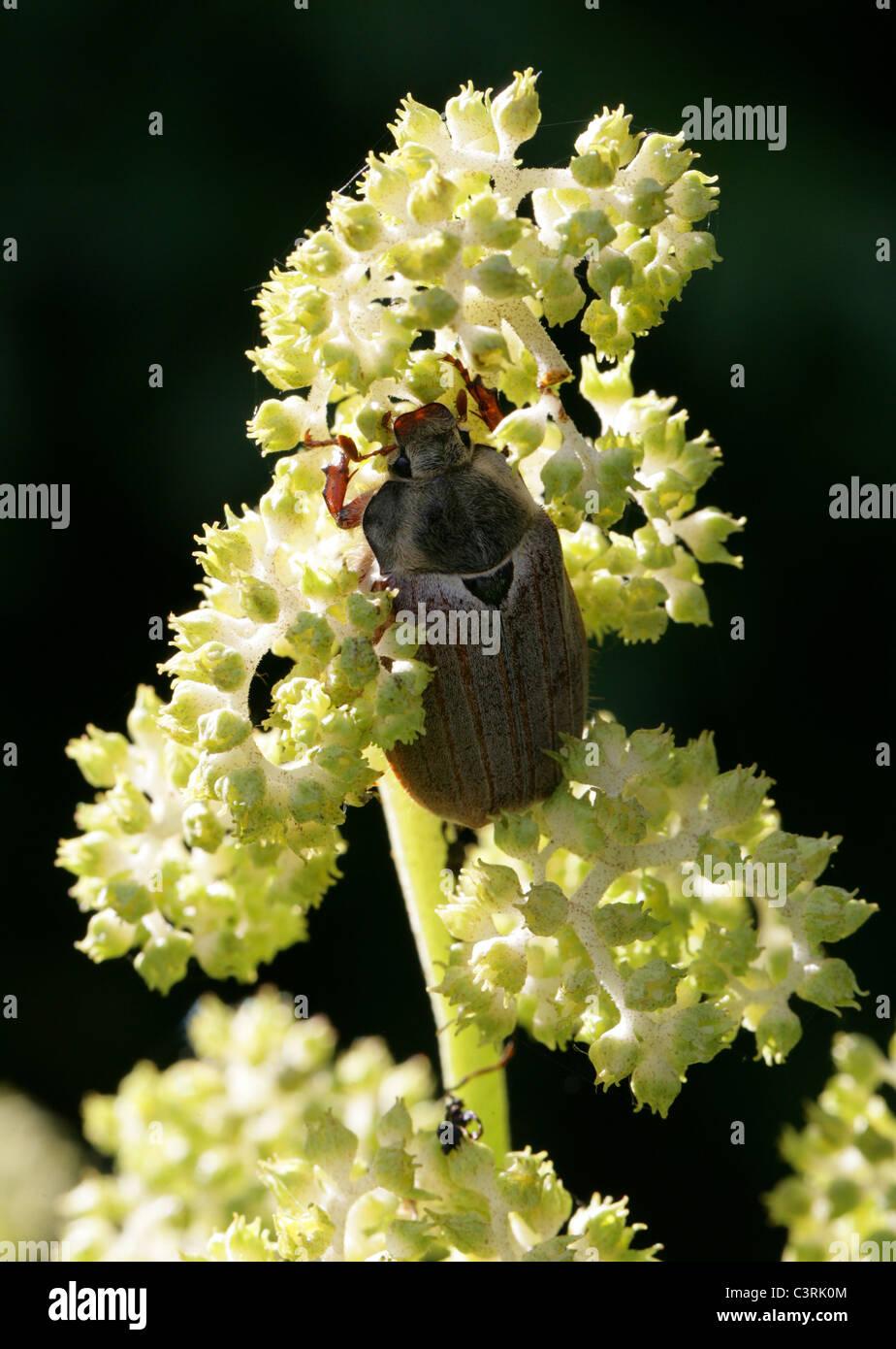 Maybug or Cockchafer, Melolontha melolontha, Melolonthinae, Poxviridae, Coleoptera. Stock Photo