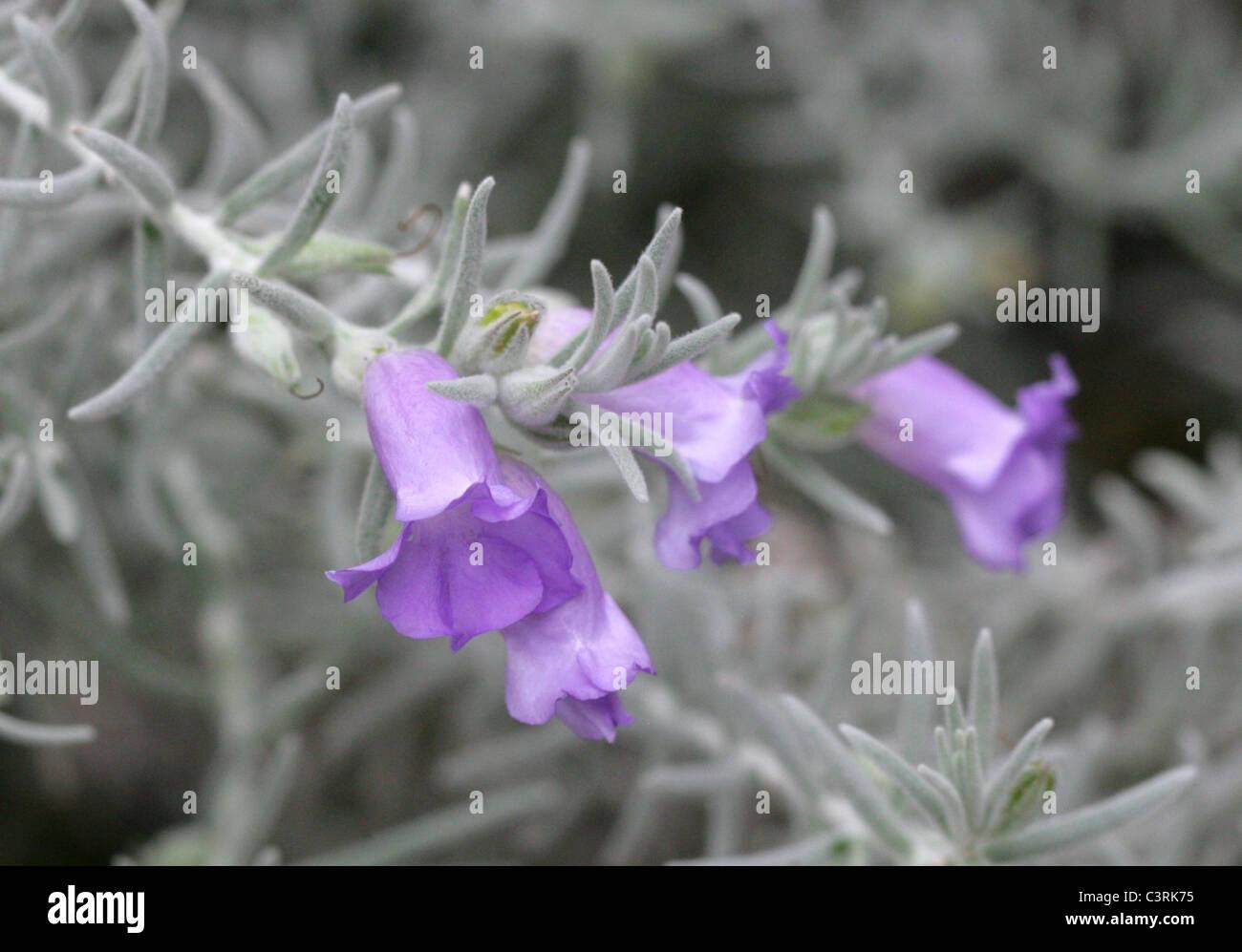Emu Bush or Silky Eremophila, Eremophila nivea, Scrophulariaceae (Myoporaceae). Western Australia. - Stock Image