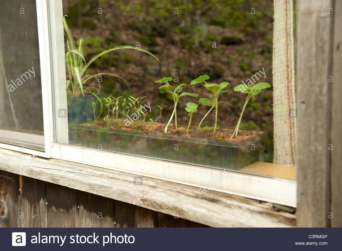 Vegetable seedlings windowsill plants propogation - Stock Image
