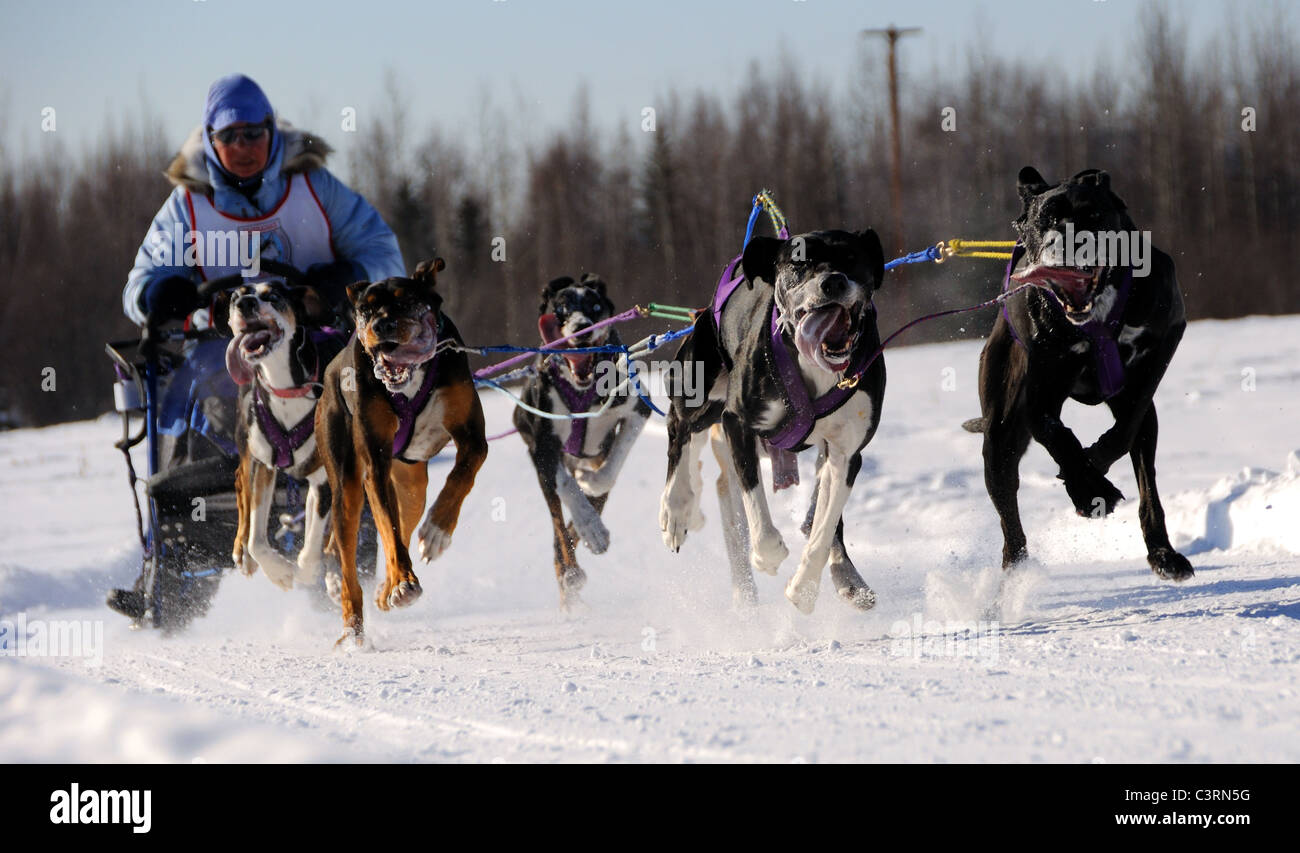 FAIRBANKS, AK - MARCH 13: Jennifer Probert races in the Limited North American Sled Dog Race - Stock Image