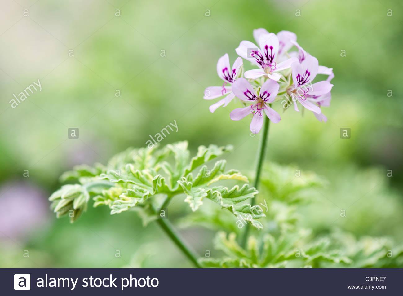 Pelargonium Graveolens Lady Plymouth Scented Geranium