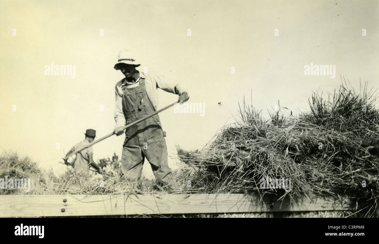 A farm laborer harvests hay during the 1930s male man pitchfork wagon - Stock Image