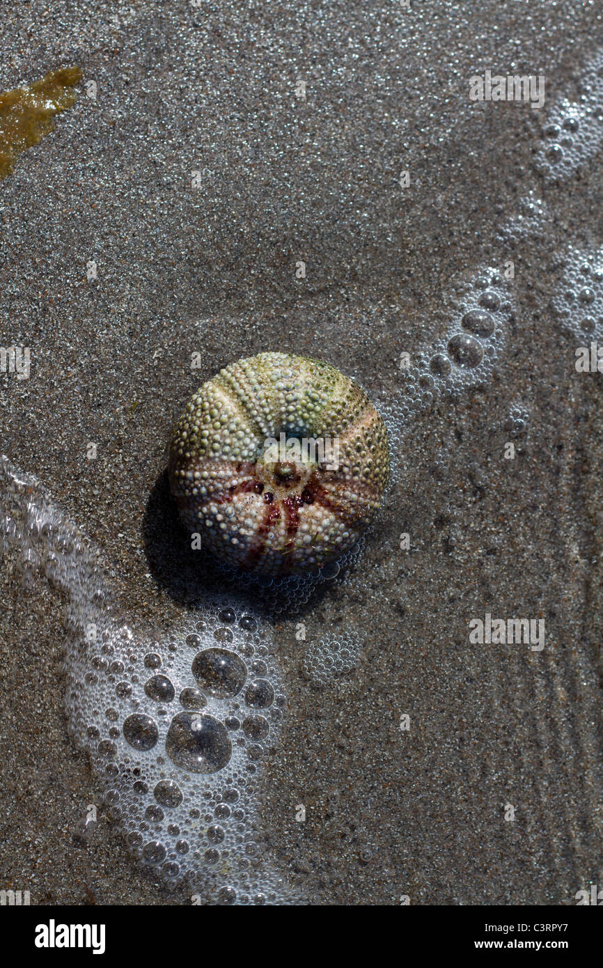 Sea urchin seashell set in sand with sea water lapping over it - Stock Image