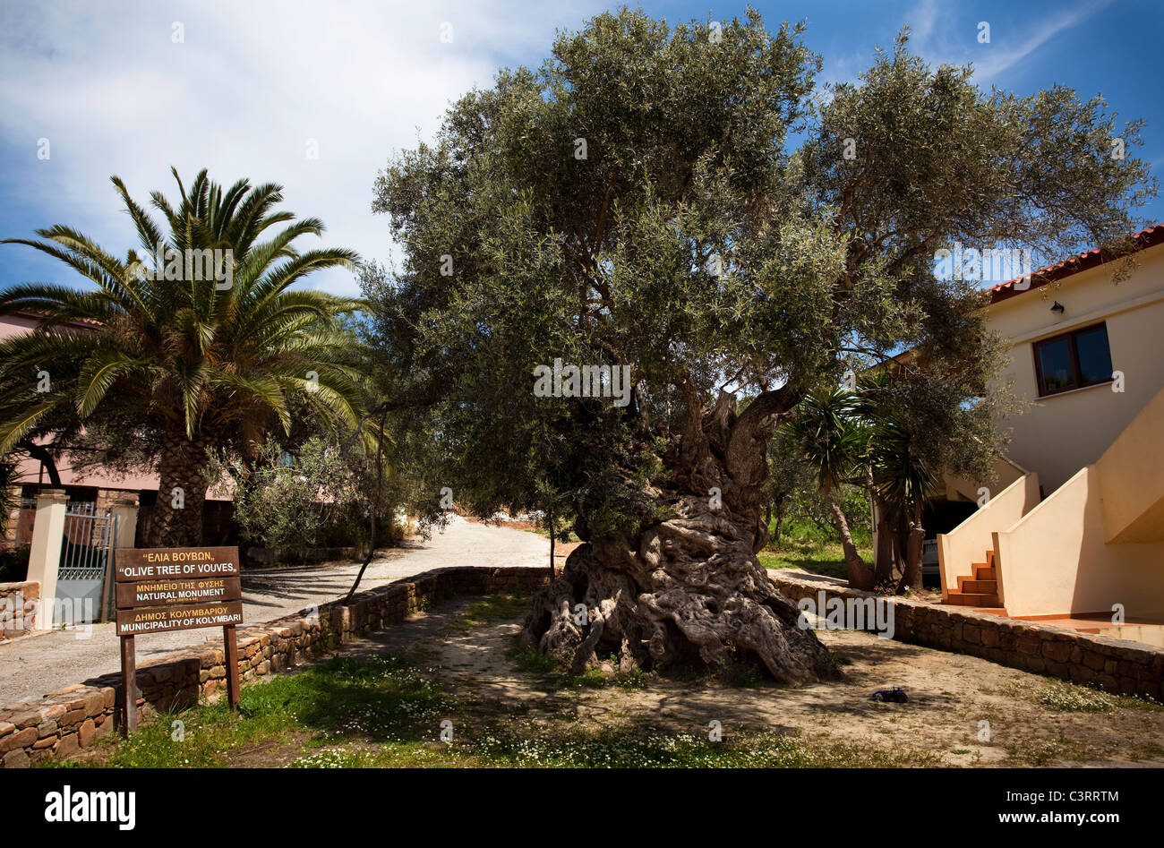 The world's oldest olive tree, in the village of Ana Vouves, thought to be between 2000-3000 years old. Stock Photo