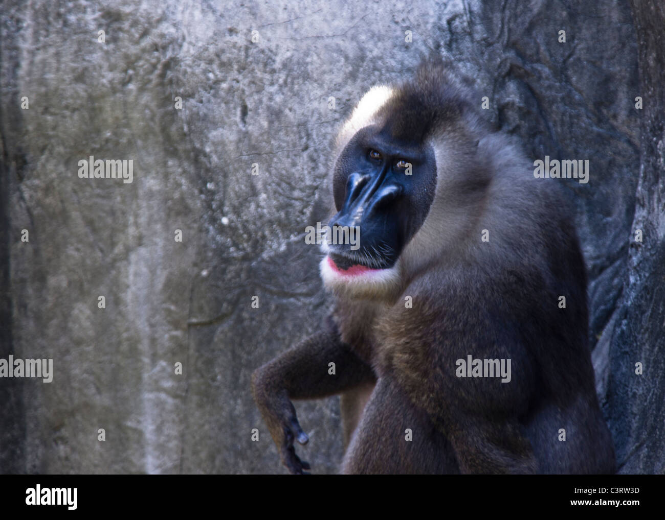 Baboons are African and Arabian Old World monkeys - Stock Image