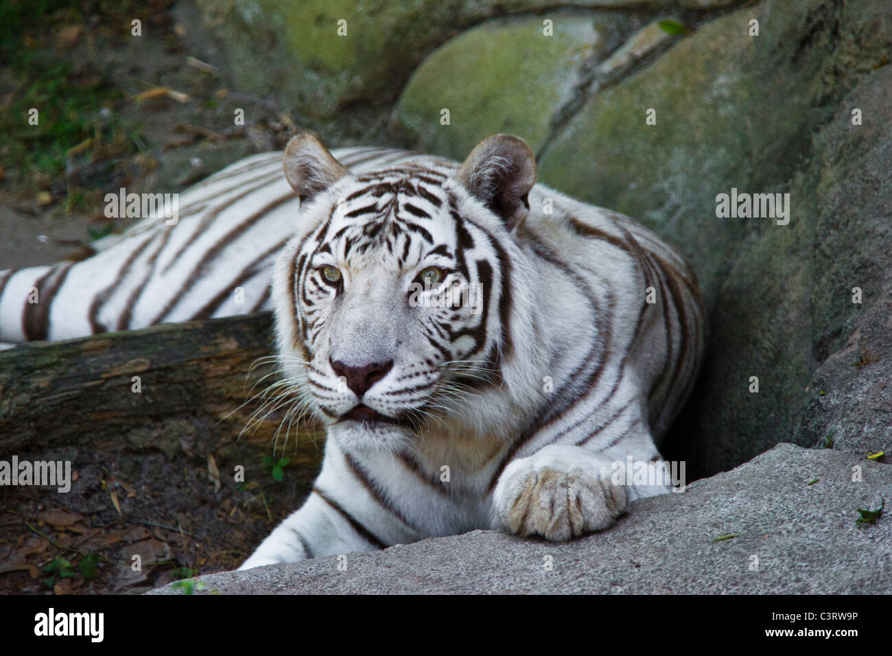There is a well-known mutation that produces the white tiger, technically known as Chinchilla Albinistic - Stock Image