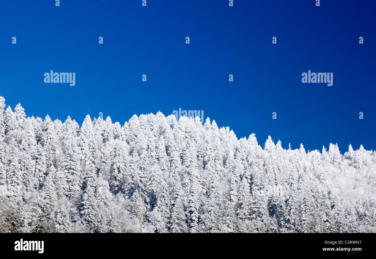 Pine or fir trees covered in snow in winter / early spring on a ridge in the Great Smoky Mountains National Park, - Stock Image