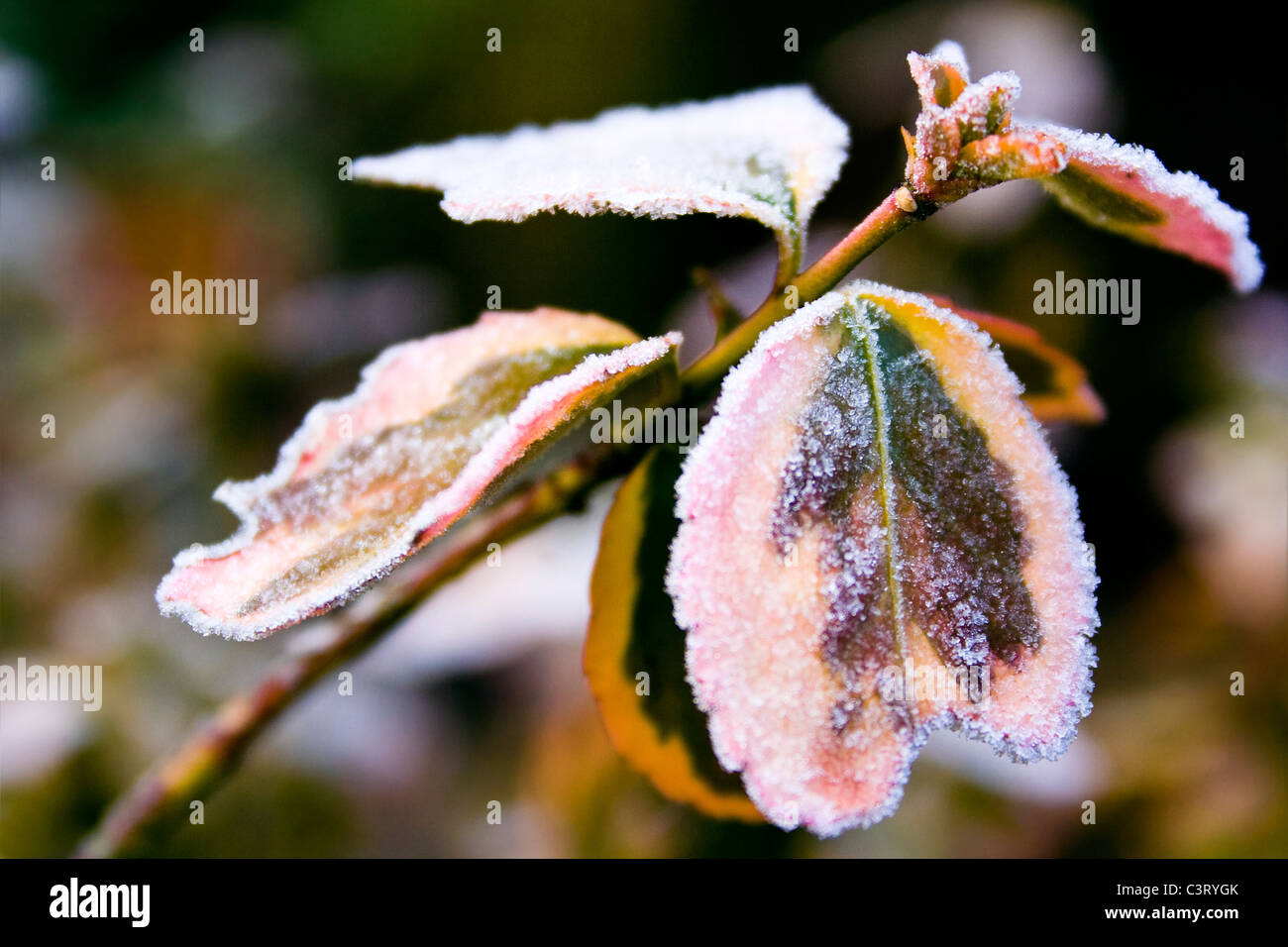 Iced Shrub - Stock Image