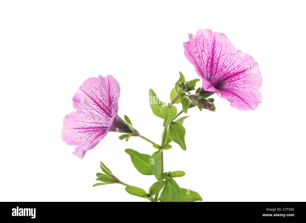 Trumpet shaped petunia flowers against white - Stock Image