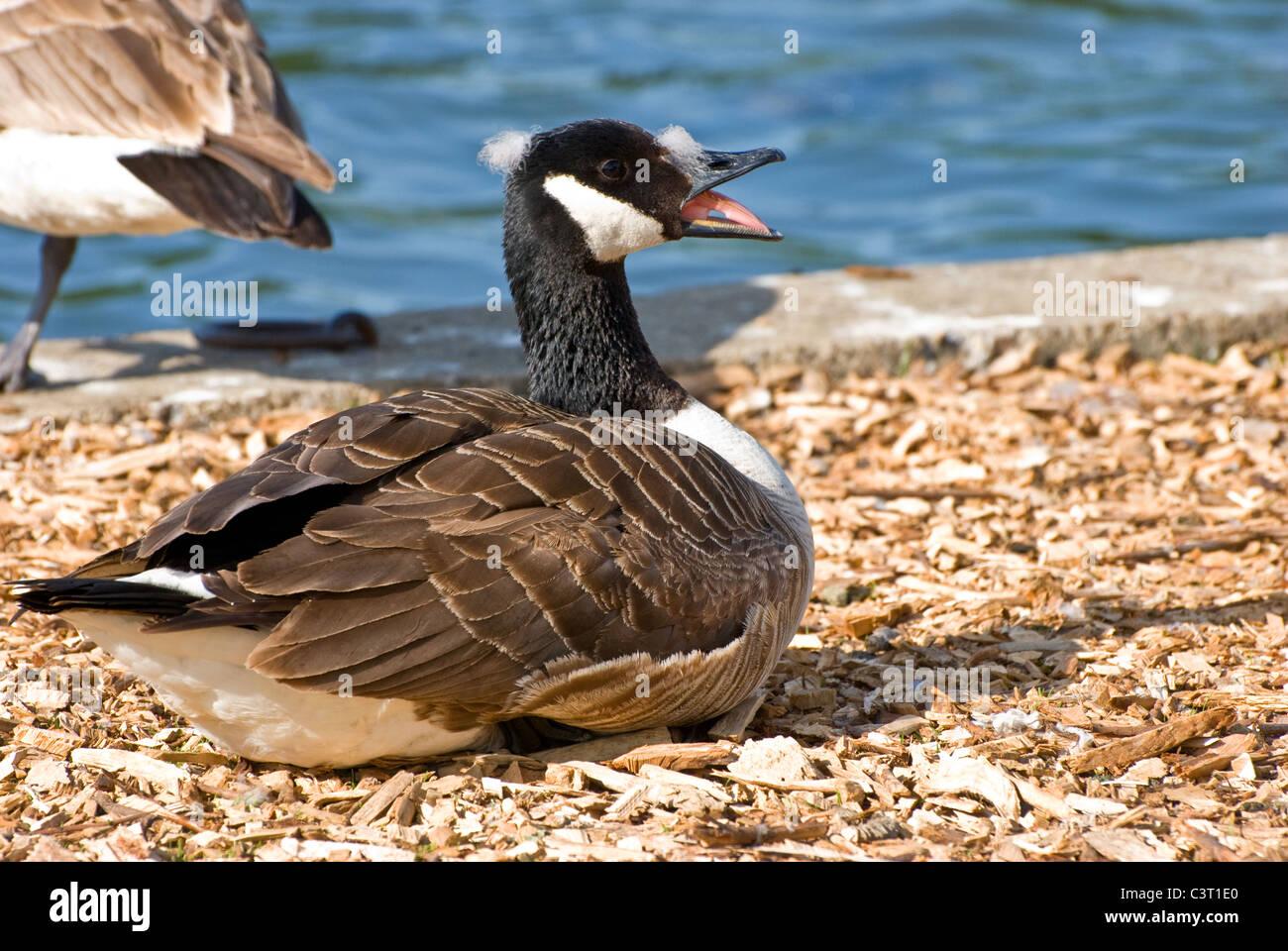 canada goose brandon mb