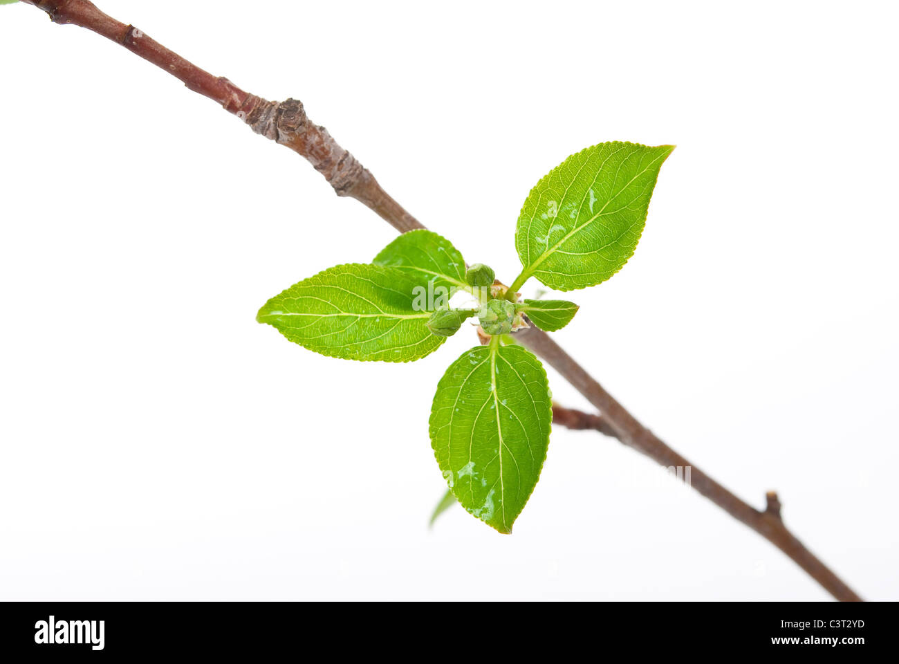 Branch apple tree with spring buds isolated on white - Stock Image