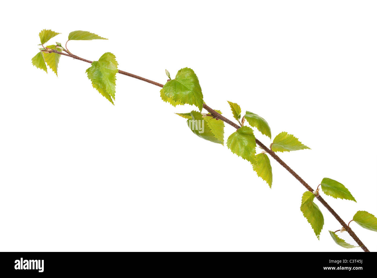Birch branch isolated on white background - Stock Image