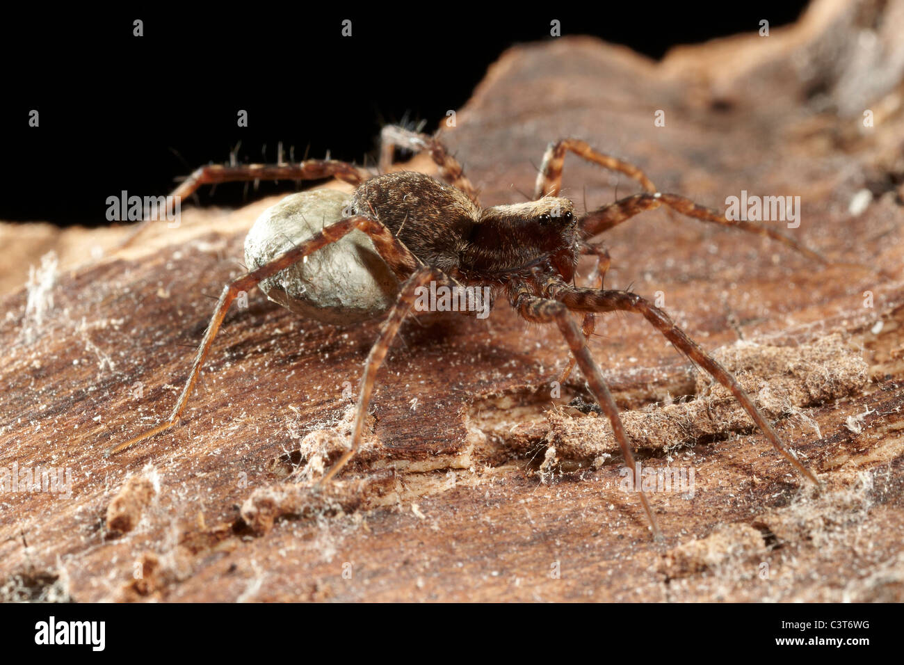 Female Wolf Spider, Pardosa amentata carrying her wide-seamed egg sac, UK - Stock Image