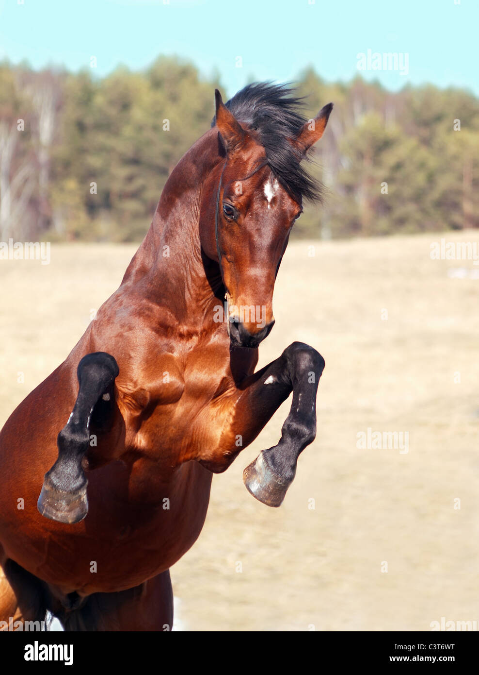 bay horse rearing in the field - Stock Image