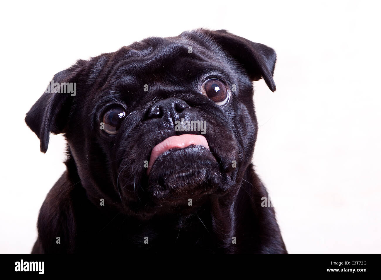 Pug Black - Stock Image